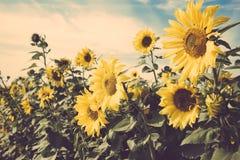 减速火箭黄色花向日葵草甸领域的葡萄酒 库存图片