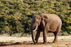 减速-非洲人布什大象 图库摄影