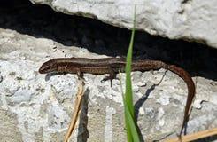 凝结面上的小蜥蜴在春天太阳加热 免版税库存照片