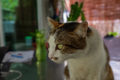 凝视一只美丽的抢救的虎斑猫某事在距离坐书桌 免版税图库摄影