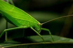 凝视与一只绿色蚂蚱用木薯离开 库存照片