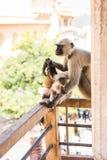 凝视与求知欲的猴子 库存图片