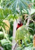 凝视从叶子的后面二重齿状的热带巨嘴鸟 库存图片