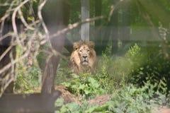 凝视从森林的狮子 库存照片