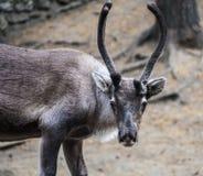 凝视入框架的鹿的画象 免版税库存照片