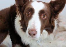 凝视入照相机的一只红色博德牧羊犬 免版税库存照片