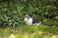 凝视入照相机的白色和灰色猫,当坐在绿草时 免版税库存照片