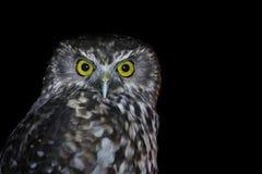 凝视入照相机的被隔绝的强烈的猫头鹰 免版税库存照片