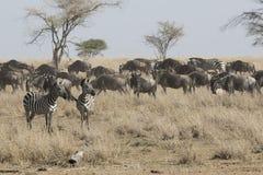 凝视入距离的两匹斑马站立在干燥大草原n 库存照片