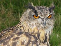 凝视入距离的猫头鹰 免版税库存照片