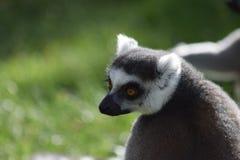 凝视入距离的环纹尾的狐猴 免版税库存图片