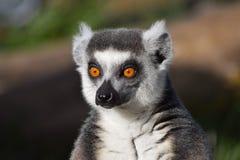 凝视入距离的环纹尾的狐猴 免版税图库摄影