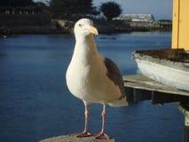 凝视入食物的一家餐馆的海鸥 免版税库存照片