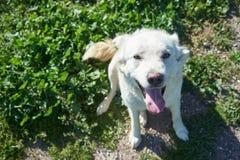 凝视和看照相机的白色狗 免版税库存图片