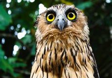 凝视在一中间天的猫头鹰在婆罗洲 图库摄影