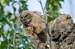 凝视在与被延伸的爪的距离的幼小猫头鹰之子 免版税库存照片