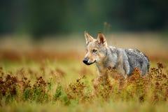 凝视在五颜六色的草的小狼 库存图片