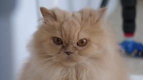 凝视在地板上的人的波斯猫的行动 影视素材