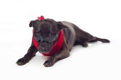 凝视在太阳镜的黑混杂品种狗 免版税库存照片