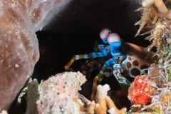 凝视在孔外面的虾蛄 库存图片