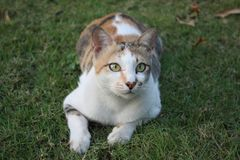 凝视在草的逗人喜爱的猫 图库摄影