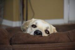凝视在长沙发的狗 免版税库存照片