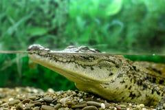 凝视在水外面的幼小鳄鱼 免版税库存照片