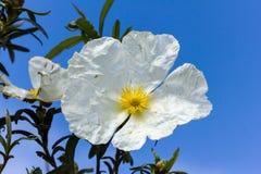 凝视太阳的白色沙漠座莲 免版税库存照片