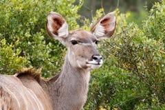 凝视女性Kudu 免版税库存照片