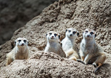 凝视好奇地旁观者的Meerkats 免版税库存图片