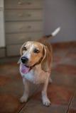 凝视小猎犬狗 免版税图库摄影