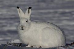 凝视往在一个多雪的寒带草原的照相机的北极野兔 免版税图库摄影