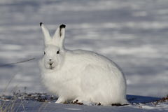 凝视往在一个多雪的寒带草原的照相机的北极野兔 库存照片