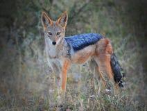 黑色支持的狐狼凝视 库存照片