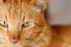 凝视您的猫 库存图片