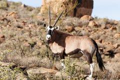凝视您的羚羊属大羚羊-野生生物公园-西部Beaufort 免版税图库摄影