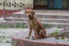 凝视我的美丽的印地安路狗 图库摄影