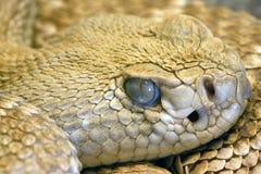 凝视接近的眼睛s的蛇  库存照片