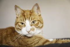 凝视某事的姜猫 免版税库存图片