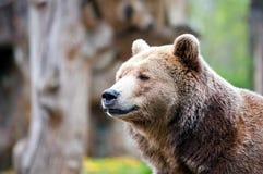 凝视棕熊 免版税库存图片