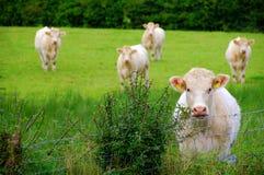 凝视母牛 免版税图库摄影