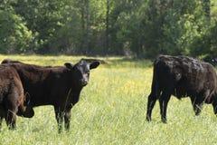 凝视母牛 库存图片
