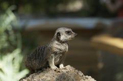 凝视海岛猫鼬类 免版税库存照片