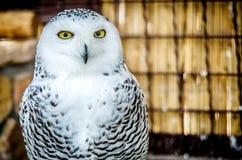 凝视照相机的一头白色猫头鹰的画象 免版税库存照片