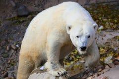 凝视照相机的北极熊 库存图片