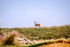 凝视照相机的单独幼小阿拉伯沙子瞪羚 免版税库存照片