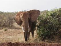 凝视照相机的大象在肯尼亚 免版税库存照片