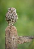 凝视照相机的小猫头鹰 免版税库存图片