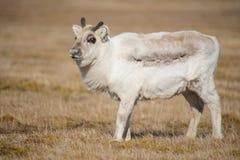 凝视照相机的幼小白色驯鹿小牛 免版税图库摄影