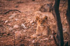 凝视照相机的幼小非洲狮子 免版税库存图片